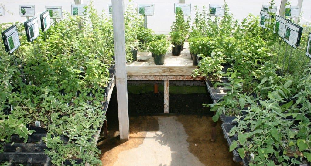 Tea Varieties Ken's Gardens