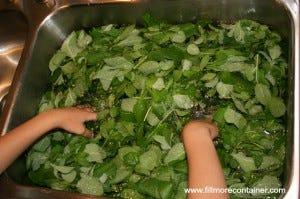 Washing Mint Tea Leaves