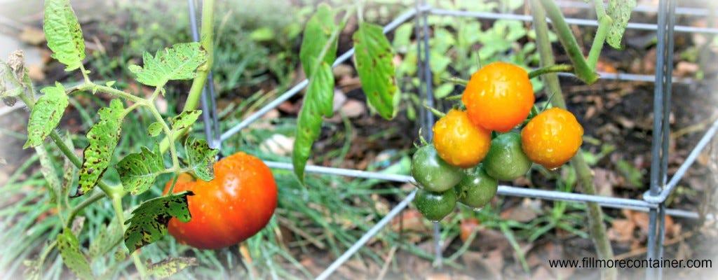 Autumn Tomato Banner