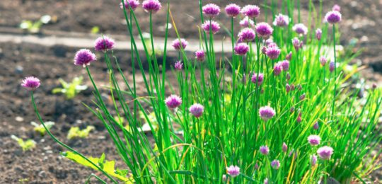 Preserving Chives