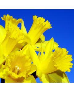 Daffodil TruScent Fragrance Oil - Fillmore Container