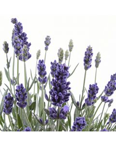 English Lavendar TruScent Fragrance Oil - Fillmore Container