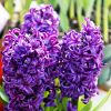 Hyacinth Fragrance OilTS108