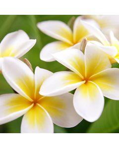 Plumeria Fragrance OilTS095